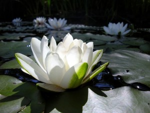 white_lotus_flower